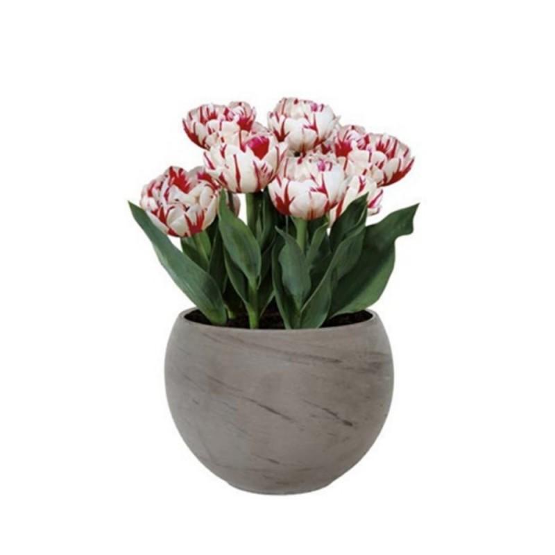 Vaso Fiori.Kit Coltivazione Fiori Di Tulipani Carnival Di Colore Bianco Con