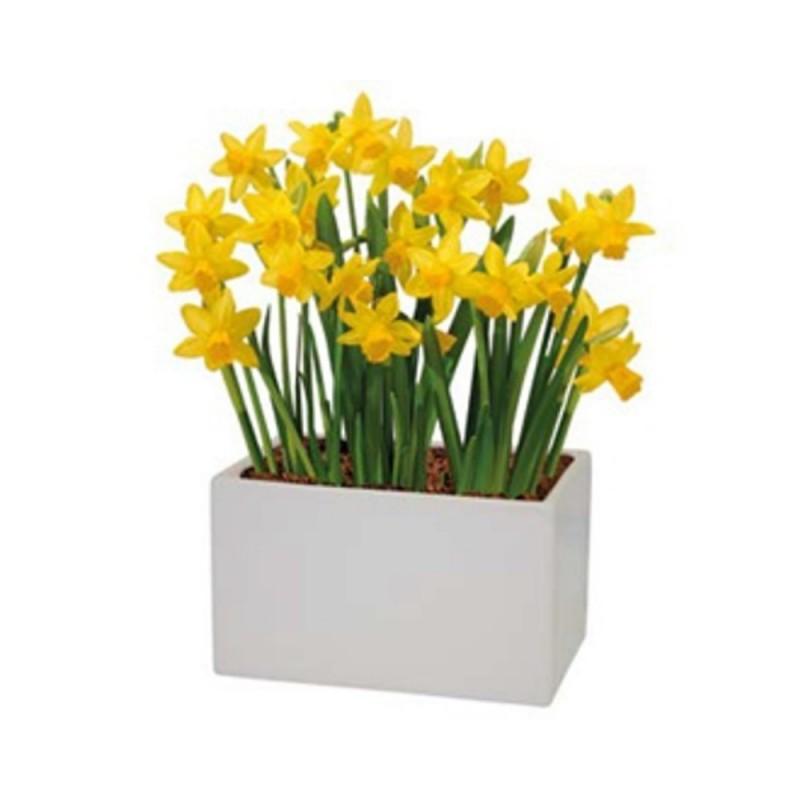 Bulbi In Vaso Di Vetro.Kit Coltivazione Fiori Di Narciso Nano Tete A Tete Di